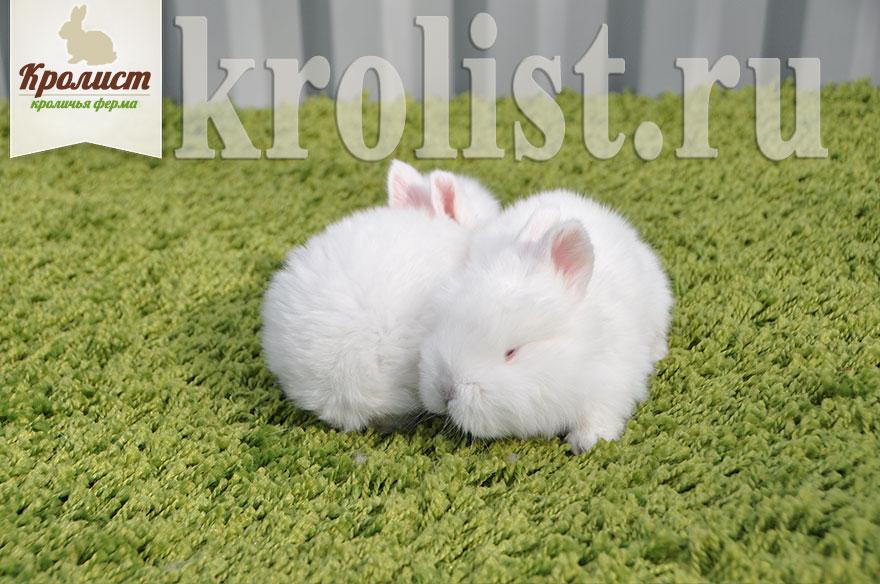 Крольчата новозеландские белые