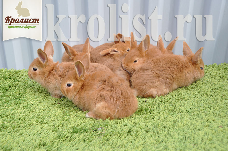 Крольчата новозеландские красные