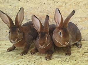 Кролики породы Рекс(фото)
