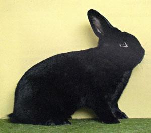 кролик чёрный фото