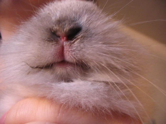 мокрая мордочка у кроликов фото