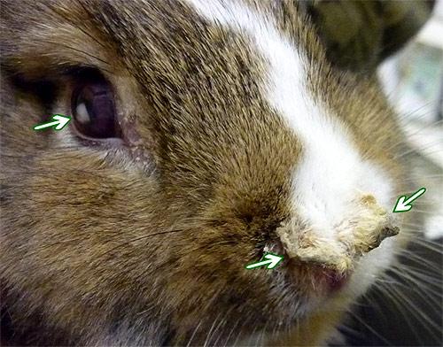 пастереллез кроликов фото